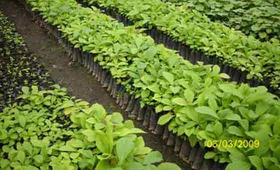 200.000 Teak Setzlinge zur Anpflanzung bereit.