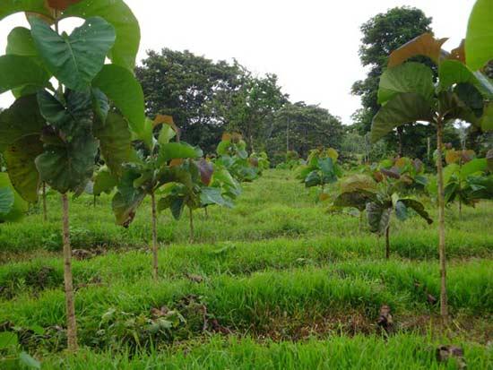Terra Verde Teak-Plantagen in voller Pracht
