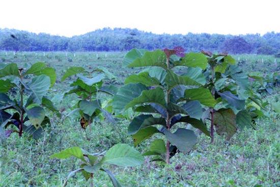 Vor dem Hintergrund, dass die Setzlinge erst im März 2009 gepflanzt wurden, haben sie sich prächtig entwickelt.