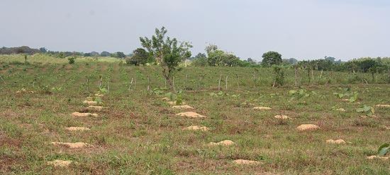 Zu den Fortbildungsmaßnahmen von Life-Forestry gehört auch ein eigenes Versuchsfeld auf der Plantage Santa Maria in Ecuador. Hier werden systematisch Methoden natürlicher Düngung erforscht, z.B. mit Reishülsen. Im Hintergrund sieht man die frisch gepflanzten Teakbaum-Setzlinge, wie sie schön angewachsen sind