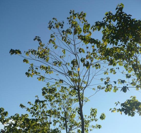 Melina-Bäume auf den Life Forestry Plantagen