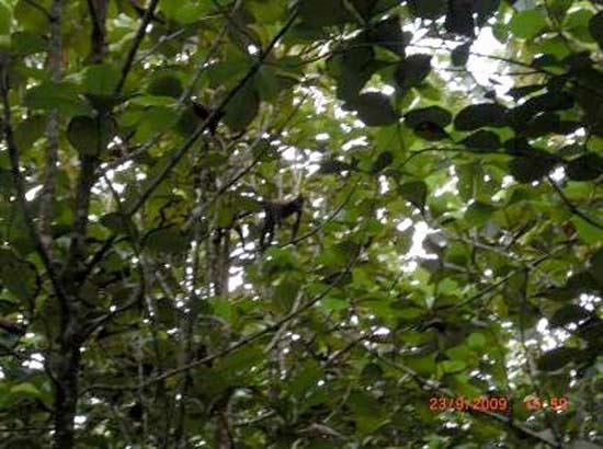 Spider-Monkey ( Klammeraffe) in  den Plantagen der Life Forestry Group