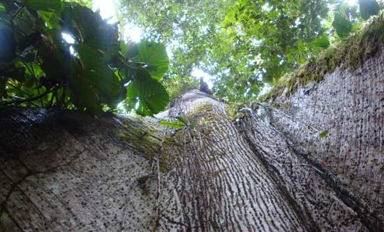 Natürlich geschützter Primärwald auf der Teakholz-Plantage  Terra Verde, Costa Rica , Baumart: Ceiba pentandra, Juni 2009, Life Forestry Group