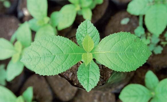Setzlinge aus eigener Aufzucht sind bereit zur Neupflanzung auf den Plantagen