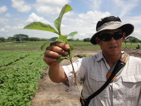 Dr. Diego Perez: Kräftige Wurzeln der Teaksetzlinge. Ideal für die bevorstehende Anpflanzung.