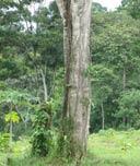 Teakholz-Plantage ''Terra Verde'', Costa Rica