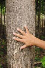 5-jährige Life Forestry Plantage ''Santa Sofia I'' in Balzar, Ecuador
