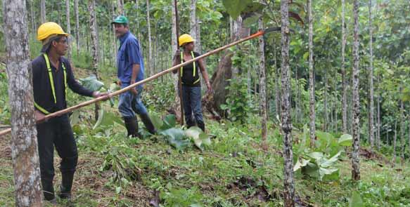 Forstarbeiter beim Hochasten der Teakbäume