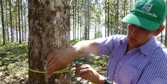 Wachstumskontrolle der Teakbäume