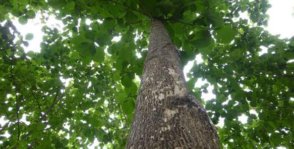 Teakbäume