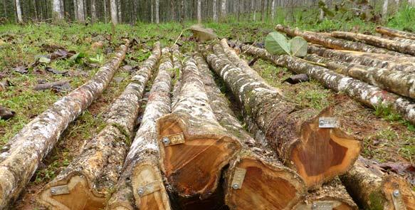 Kommerzielle Ausforstung der 10-jährigen, FSC® - zertifizierten Teakbäume