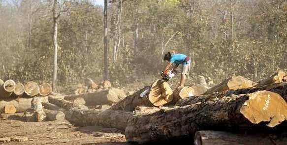 Abholzen von naturgewachsenem Teak