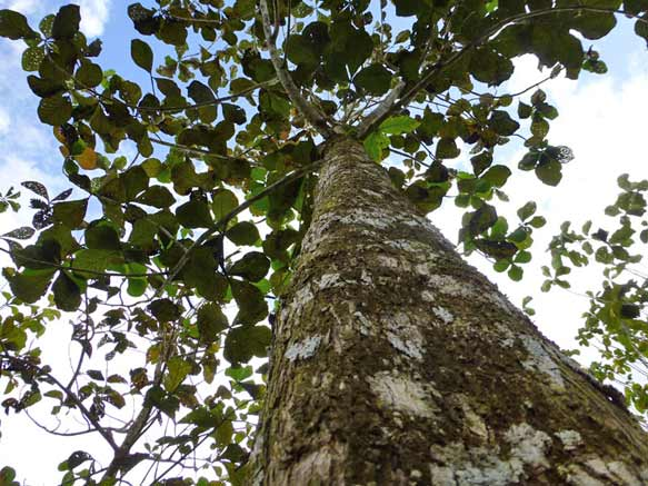 Tectona Grandis: Life Forestry Teakplantagen