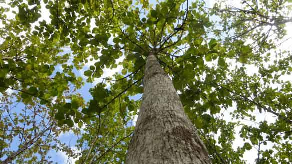 Die Life Forestry Teakbäume auf ''Santa Catarina II''