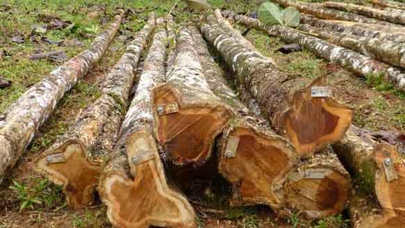 Teakbäume auf der Life Forestry Plantage