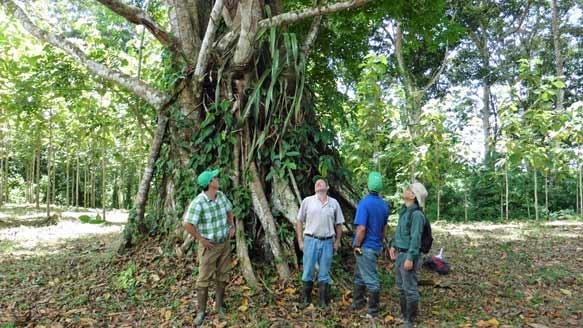 Gigantischer Urwald-Baum auf 'Terra Verde'