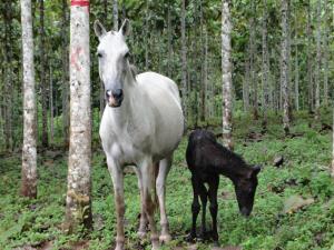 """Auf den Parzellen im Nordosten von """"Santa Lucia"""" (Costa Rica) grasen Life Forestry Plantagenpferde. Bild: © Life Forestry 2015"""