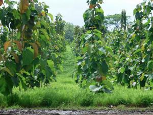 Kurze Wege, effiziente Bewirtschaftung: die Plantage Santa Rosa II von Life Forestry . Bild: © Life Forestry 2015